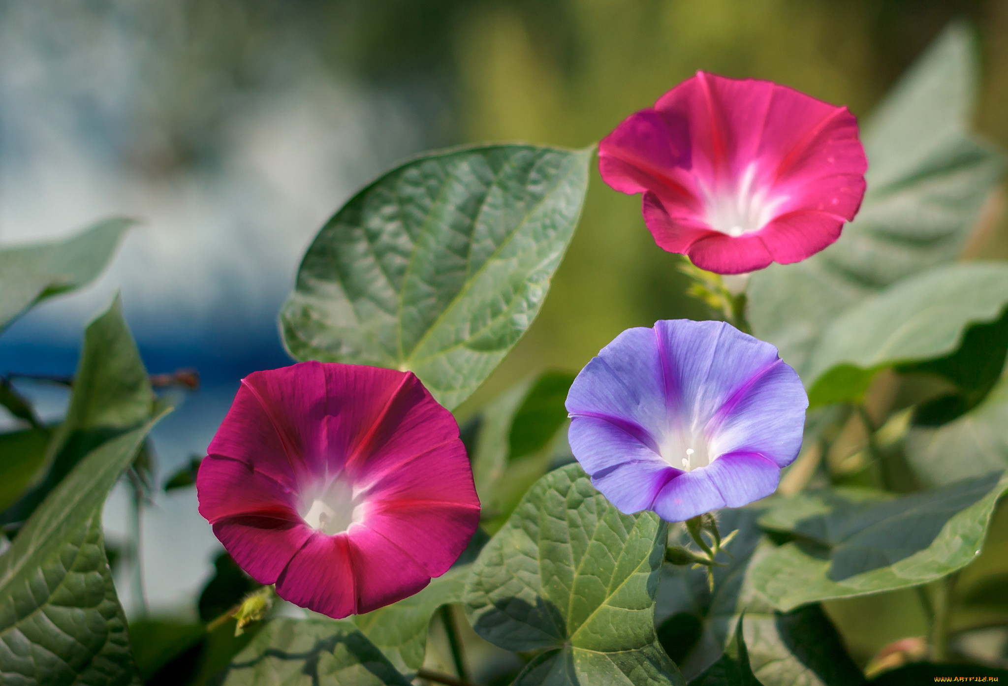 хуп картинки цветка вьюн затратите минимум, процесс